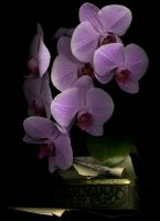 30_Orchid